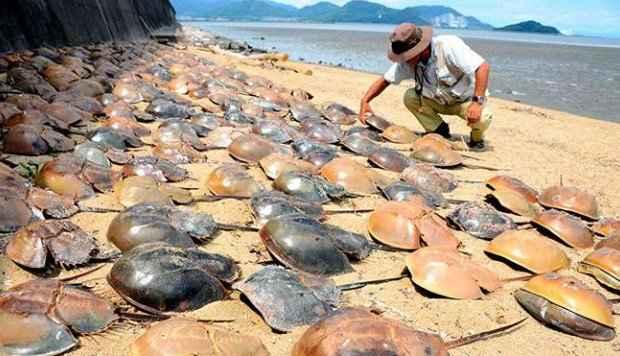 cangrejos de herradura muertos en Japón