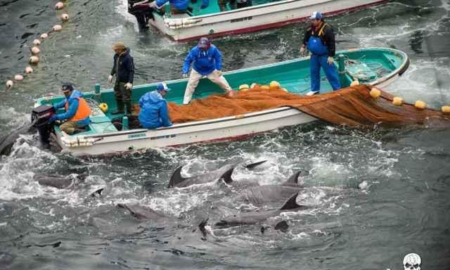 caza de delfines en Taiji, Japón