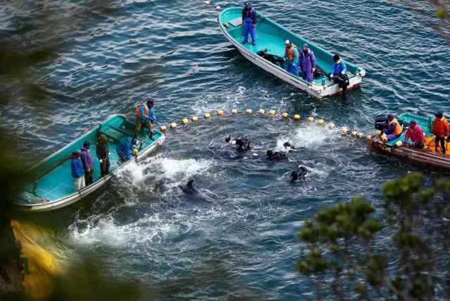 delfines rodeados por pescadores en la cala de Taiji