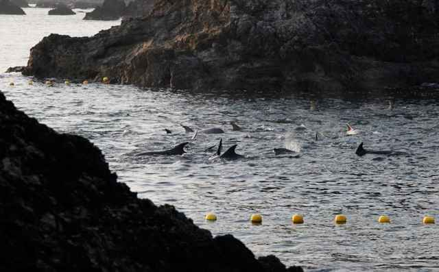 delfines rodeados en la cala de Taiji