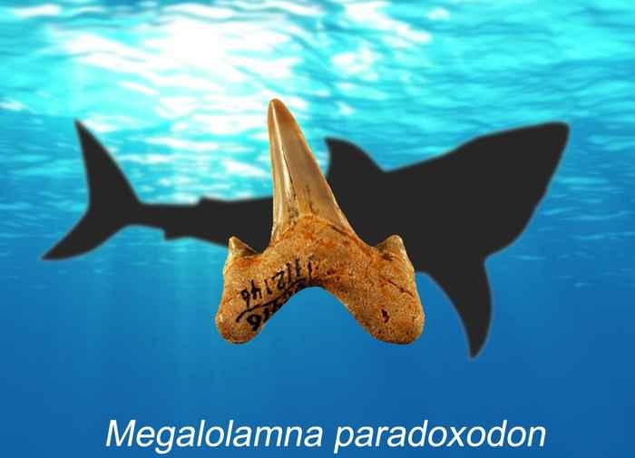 diente de Megalolamna paradoxodon