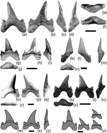 dientes del Megalolamna paradoxodon