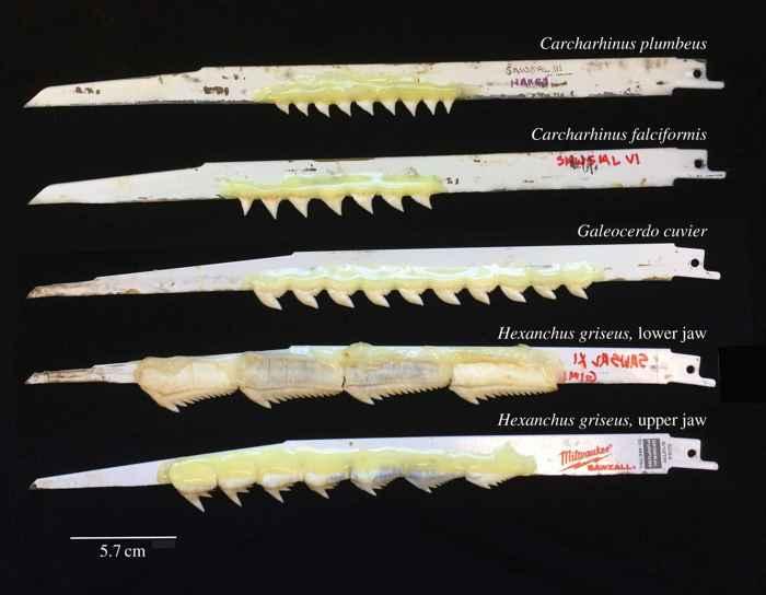 dientes de tiburón pegados a hojas de sierra