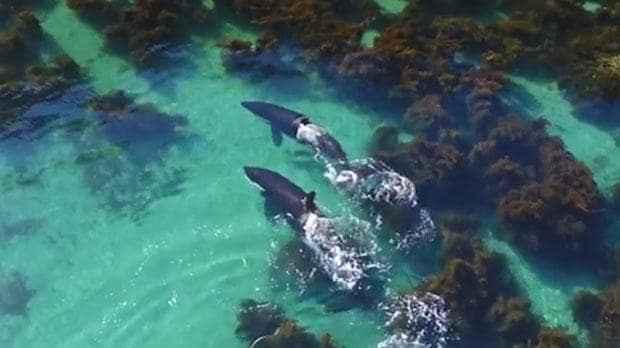 orcas cazando rayas