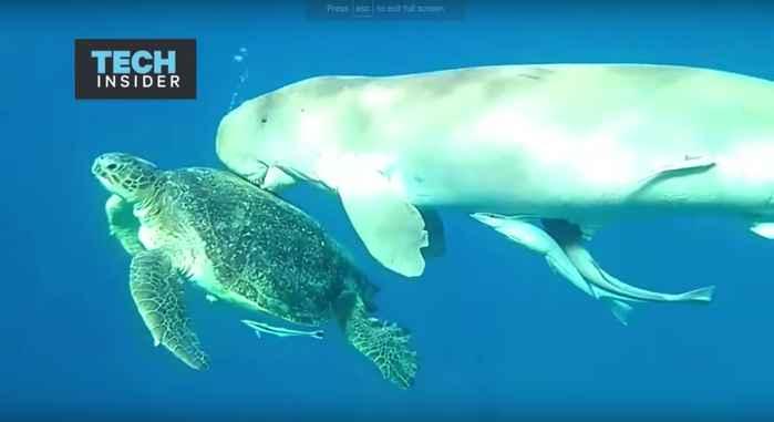 dugongo besa a tortuga marina