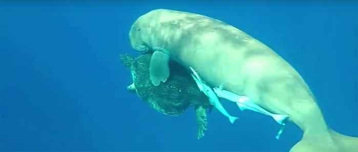 dugongo y tortuga marina