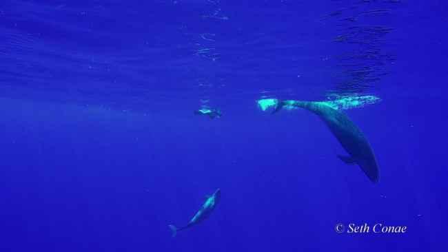 falsas orcas cazan un dorado