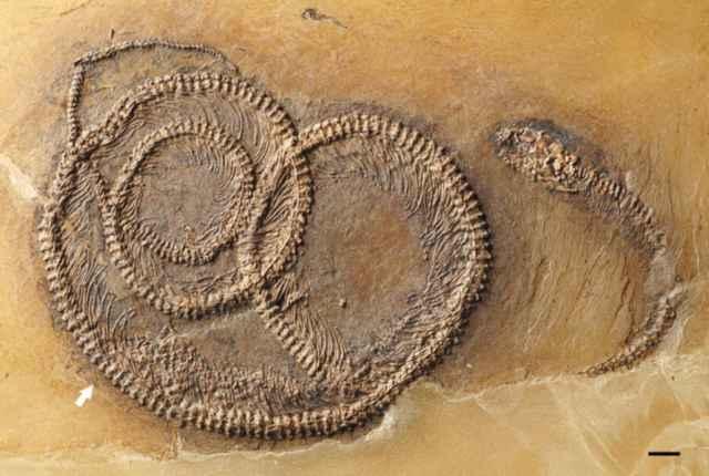 fósil de Palaeopython fischer, lagarto e insecto