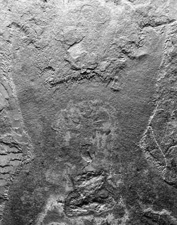 fósil de Pambdelurion whittingtoni