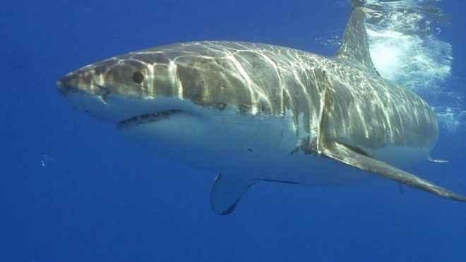 viaje de un gran tiburón blanco