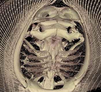 mandíbulas de la Potamotrygon motoro