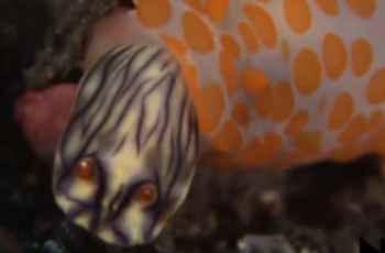 nudibranquio caníbal