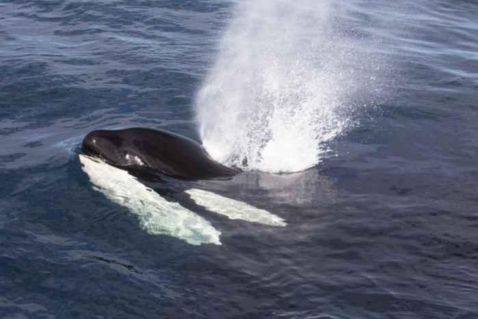 orca de Noruega