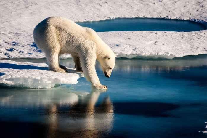 el oso polar y la pérdida de hielo marino