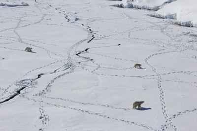osos polares y la pérdida de hielo marino