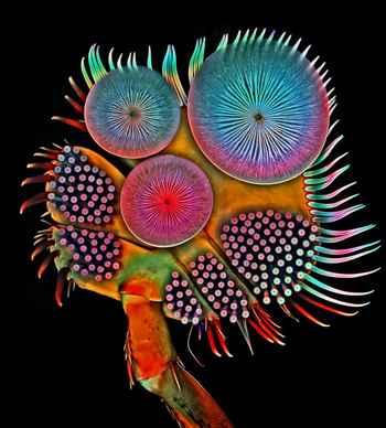 pata de escarabajo de agua