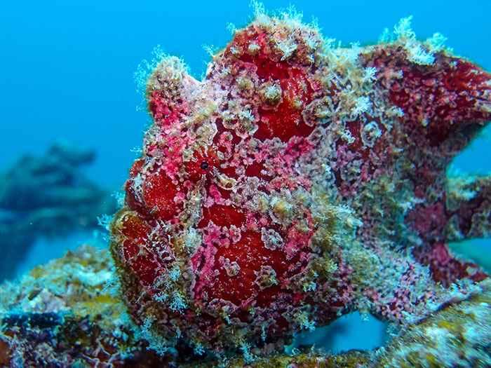pez sapo verrugoso (Antennarius maculatus)