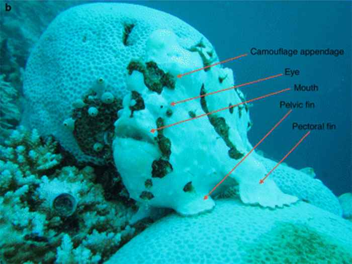 pez sapo verrugoso en un coral blanqueado