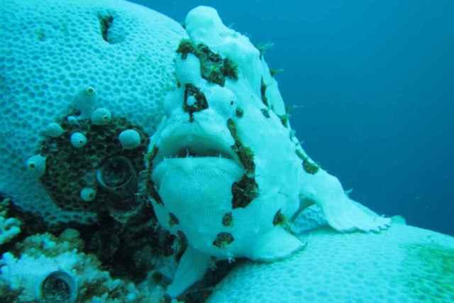 pez sapo verrugoso mimetizado con el coral blanqueado