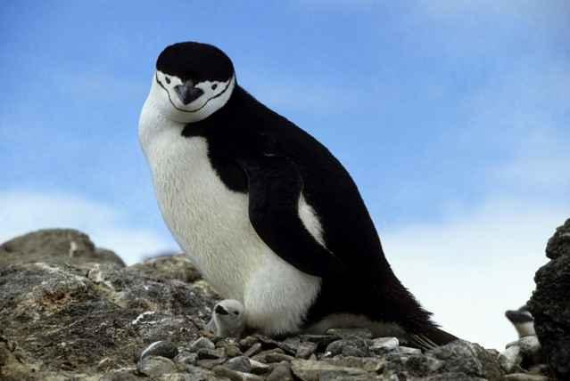 pingüino de barbijo y su cría