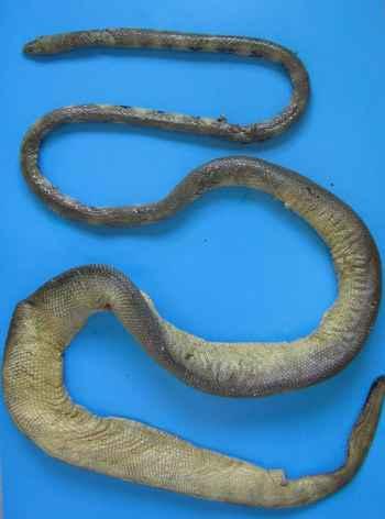 serpiente marina de Günther