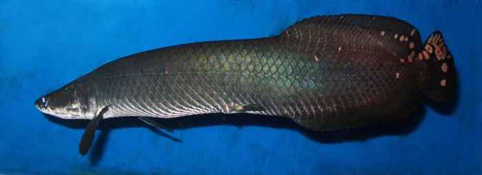 Arapaima leptosoma