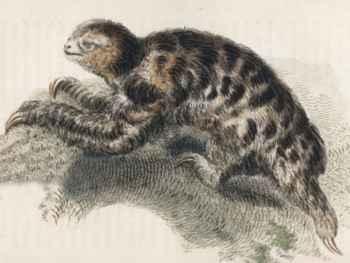 Bradypus pygmaeus