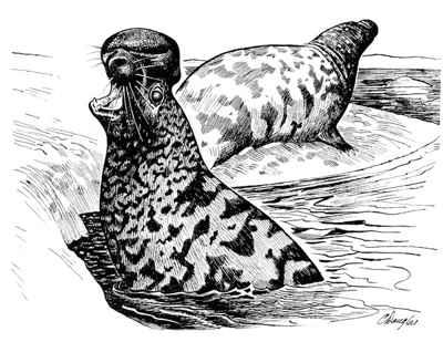 focas de casco o focas capuchina (Cystophora cristata)