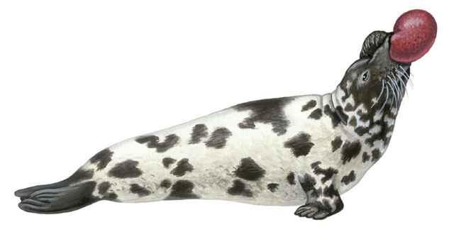 foca de casco o foca capuchina (Cystophora cristata)