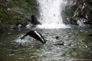 focas en la catarata Ohau Stream, Nueva Zelanda