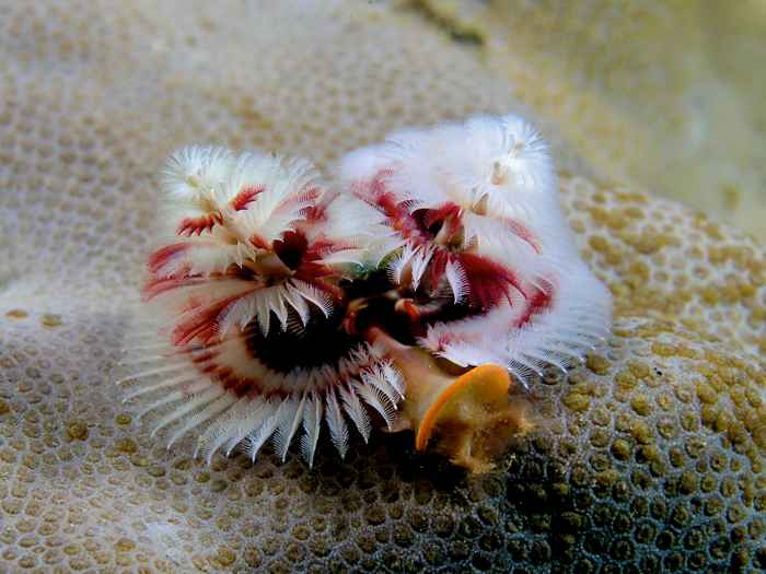 gusanos árbol de Navidad (Spirobranchus giganteus)
