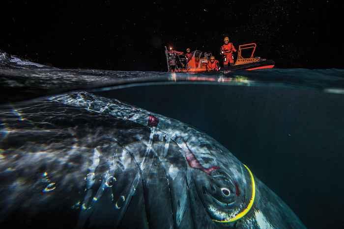 ballena enredada en un cable de Internet