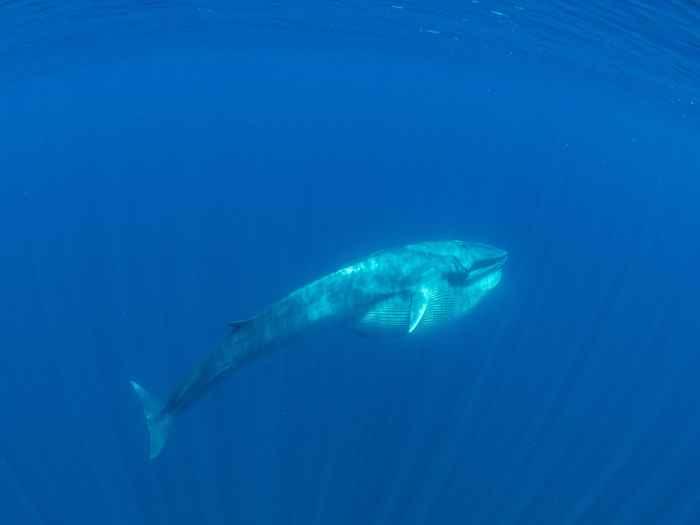 ballena de Omura