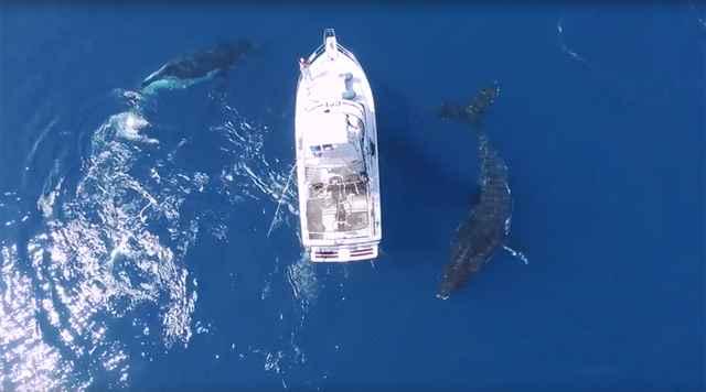 ballenas jorobadas rodeando un barco