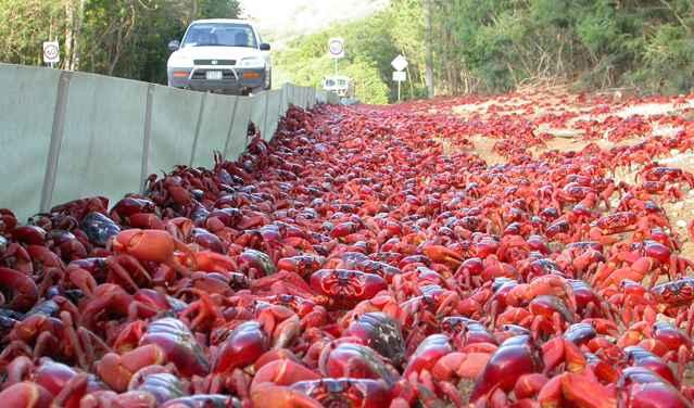 cangrejos rojos de la Isla de Navidad