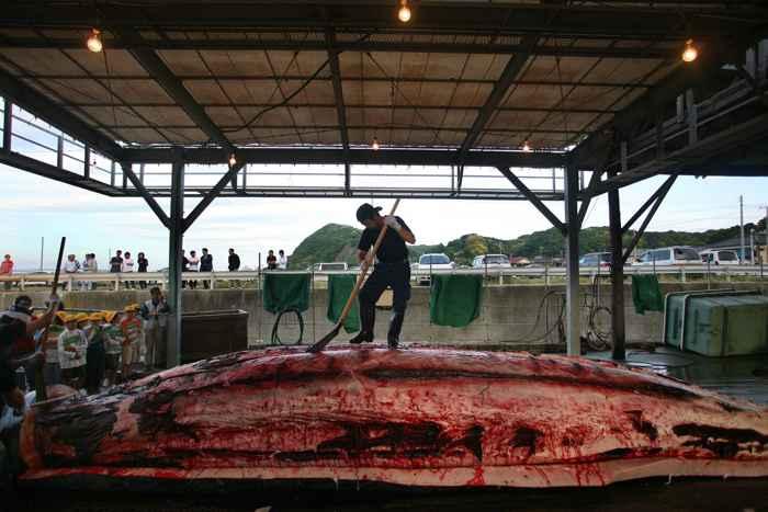 caza de ballenas por Japón, despiece