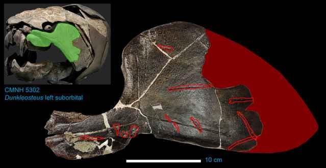 mordeduras en el cráneo de un Dunkleosteus