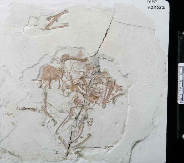 fósil de enantiornithes
