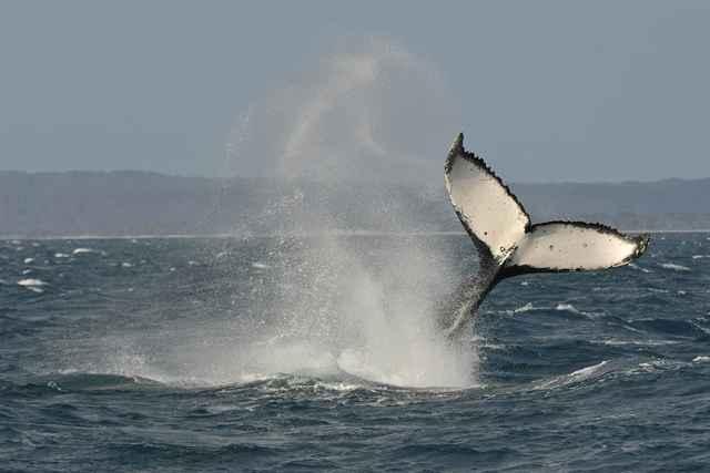 golpeo con la cola de ballena jorobada