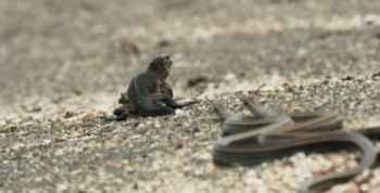iguana marina perseguida por serpientes en Galápagos