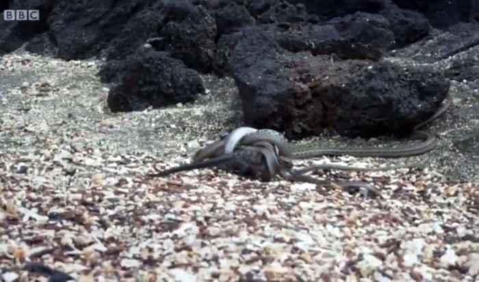 iguana marina atrapada por serpientes