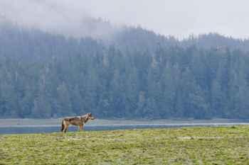 lobo costero de la Isla de Vancouver (Canis lupus crassodon)