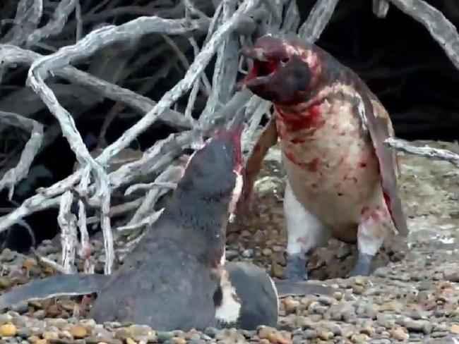 lucha entre pingüinos enamorados