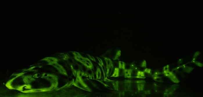 tiburón inflado biofluorescente