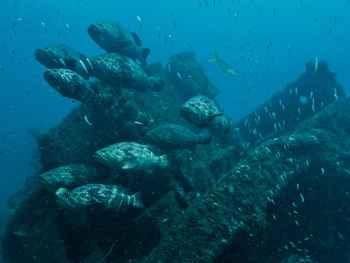 meros goliat del Atlántico (Epinephelus itajara)