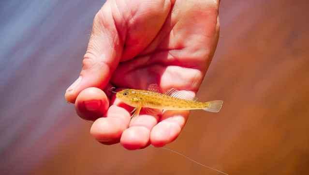 micro pez