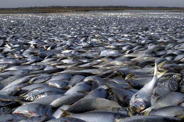 mortandad de peces en el Canal de Shinnecock