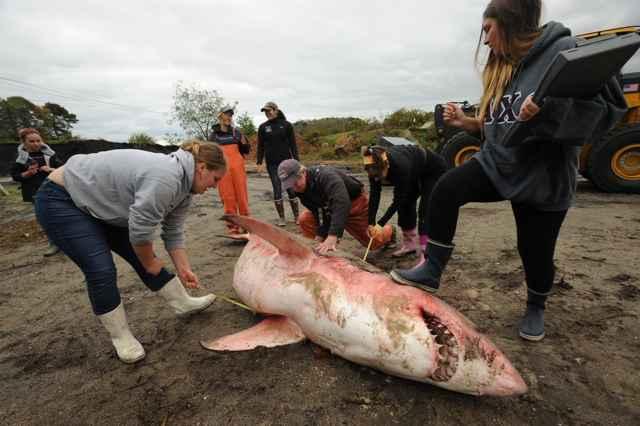 necropsia de un gran tiburón blanco