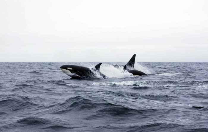 orcas en la Bahía de Hudson