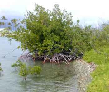 hábitat de manglares del perezoso pigmeo